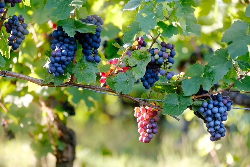 grapes_becgou