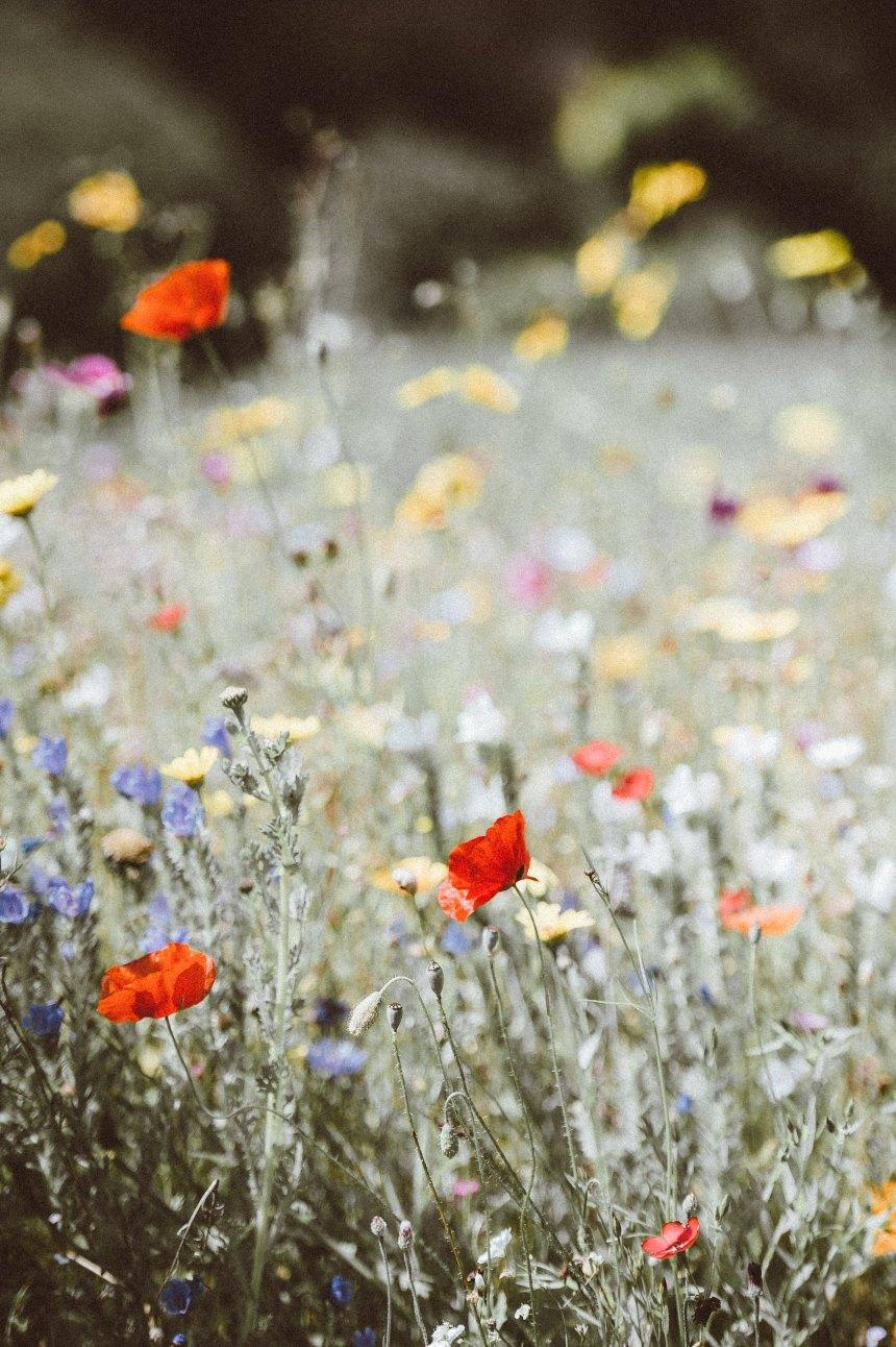 Poppies_november