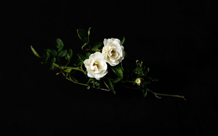 whiterose_november