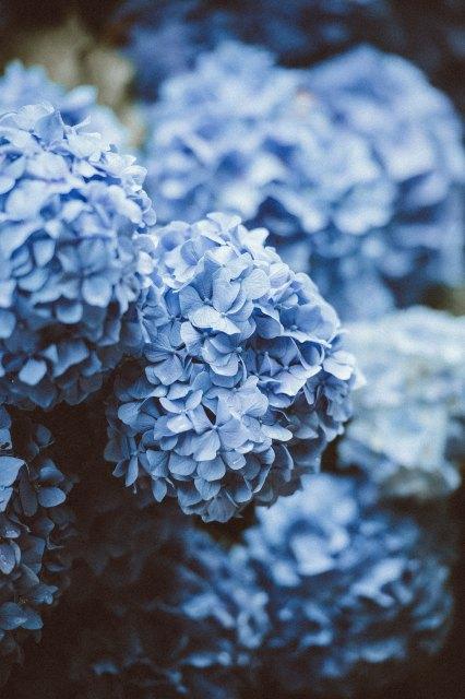 blue_hydragea