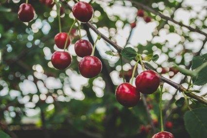 cherries_on_tree