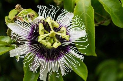 passionfruit_flower