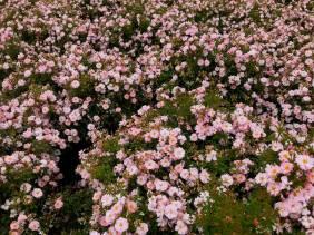 sea_of_roses