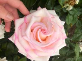 touch_rose