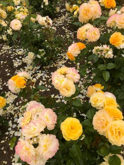 yellow_flower_bed