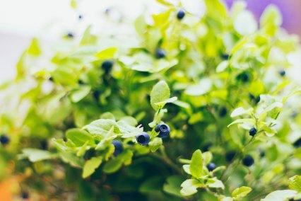 Blueberry_bush_becgou